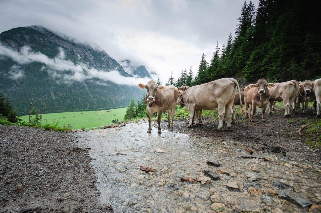 Kühe, die auf dem Wanderweg stehen.